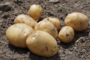 steidlehof-frühkartoffeln