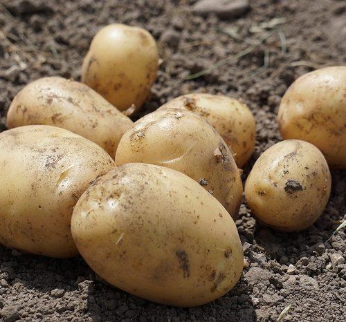 Die schönste Zeit: Frühkartoffel-Zeit!
